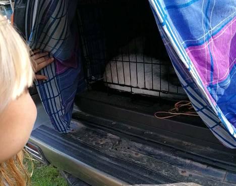 Ahvenanmaalaiselta maatilalta karannut ja kiinni jäädessään nukutusnuolella rauhoitettu Willy Wonka -kenguru vietiin kotiin toipumaan omistajaperheen auton takakontissa.