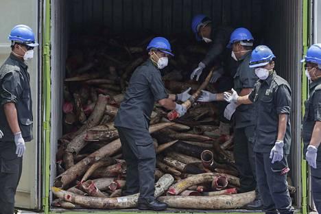 Malesialaiset virkamiehet käsittelivät Afrikasta peräisin olevia, takavarikoituja elefanttien syksyhampaita ennen niiden tuhoamista.