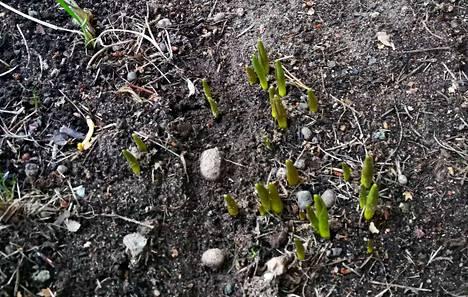 Kevätkukat ovat sitä mieltä, että on aika nousta.