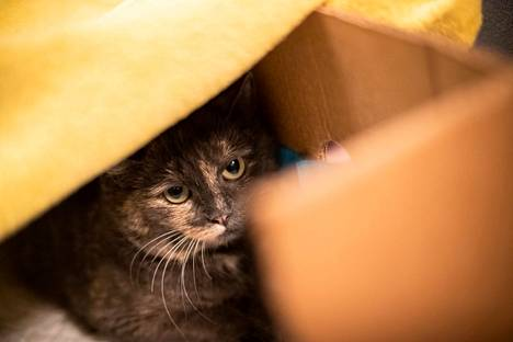 Villikissat ovat olleet Nakkilassa ongelmana jo hetken aikaa. Nyt niitä on tarkoitus loukuttaa ainakin Viikkalan alueella. Kiinni otetuille kissoille pyritään löytämään koti, mutta huonokuntoisimpia eläimiä jouduttaneen myös lopettamaan.