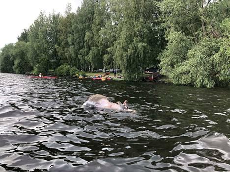 Melojat törmäsivät Tampereen Pyhäjärvessä ajelehtineeseen hirveen keskiviikkona iltapäivällä.