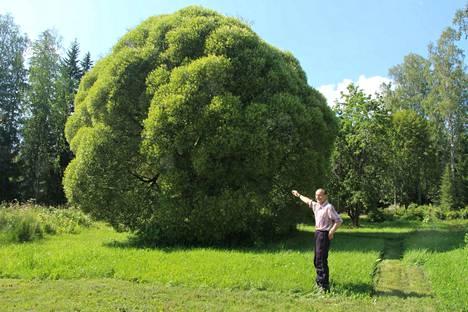 Veikko Lehtisen pihassa Putajassa kasvaa jättikokoinen terijoensalava. Pensas on kymmenisen metriä korkea ja ympärysmitta lähentelee viittätoista metriä.