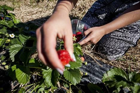 Maataloudessa tarvitaan kausityövoimaa ja jos ei sitä saa Suomesta, niin sitten ulkomailta, kirjoittaa yksi Mikko Nurmon mielipidekirjoituksen kommentoijista.