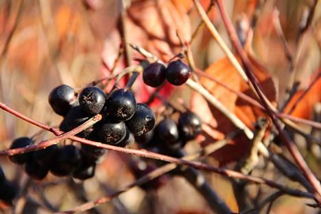 Marja-aroniaa löytyy Suomen luonnosta.