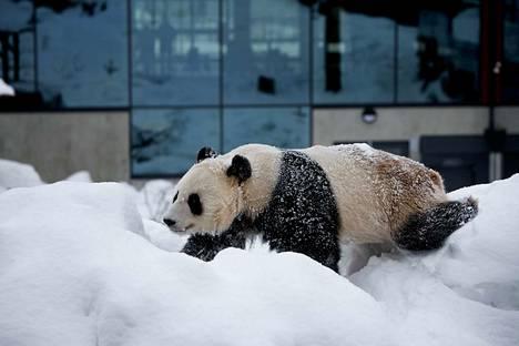 Maaliskuussa 2018 pandat telmivät lumessa Ähtärin Pandatalonsa ulkoaitauksessa.