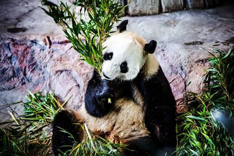 Pyry-panda popsii bambua, jota pandat ahmivat päivässä kilokaupalla.