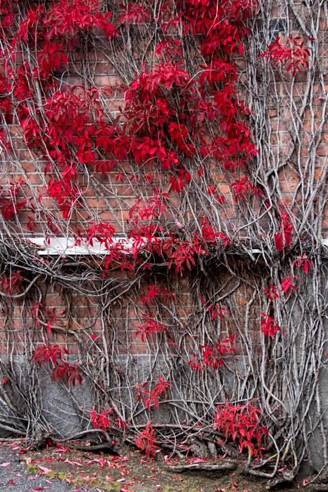 Frenckelillä ruskan punaiseksi värjäämä villiviini saa punatiiliset rakennukset hehkumaan.