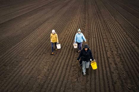 Ukrainalaiset kausityöntekijät Natalia Kobizkaja (edessä), Anna Ivanova (vas.) ja Nadezhda Kovtsunjak työskentelevät Vihannes Vinnikaisen tilalla Forssassa. Kovtsunjak on neljättä kertaa töissä Suomessa. Ivanova aloitti Suomen-keikat vuonna 2010.