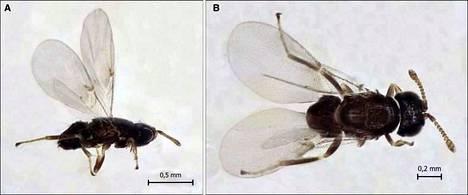 Hyvin pienikokoinen Ixodiphagus hookeri -loispistiäinen käyttää puutiaista lisääntymiseensä. Sen toukat syövät puutiaisen ennen kuin se ehtii aikuistua ja lisääntyä.