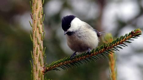 Hömötiainen on luokiteltu erittäin uhanalaiseksi lajiksi.