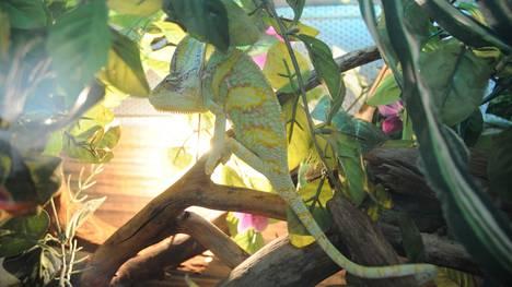 Kameleontti kaunis kuin karamelli. Se innostui saamastaan proteiiniannoksesta, mutta kameramiehelle sen kieli oli liiankin nopea.