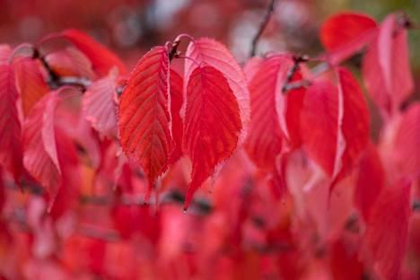 Frenckelin aukiolla kirsikkapuut tarjoavat väriloistoa kevään kukkiensa lisäksi myös syksyisin.