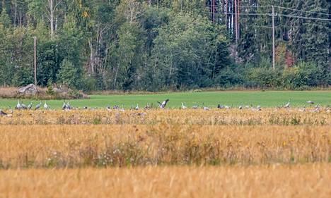 Ruokailevia ja lepäileviä kurkia Sastamalassa pellolla 15. syyskuuta.