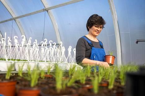Luvialaisessa Katilan puutarhassa kesäkukat ja yrttien taimet ovat jo hyvällä alulla yrittäjä Mirja Katila kokeneessa hoidossa.