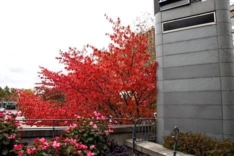 Kirsikkapuut hehkuvat nyt Frenckelillä.