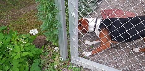 Siili ja koira ihmettelivät toisiaan pieksämäkeläisellä kotipihalla tiistaina.
