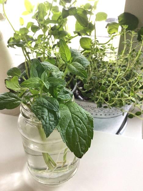 Piparminttu juurtuu lasissa viikossa. Sitä on helppo lisätä. Se leviää maassa helposti, joten laita se omaan penkkiinsä. Taustalla oikealla ruukussa kevään uutuus, sitruunatimjami.