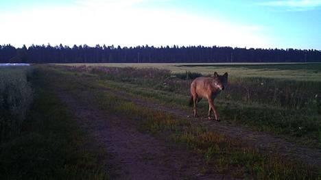 Tämä yksilö tallentui riistakameraan Köyliössä heinäkuussa 2020. Kyse ei ole Pomarkun sudesta.