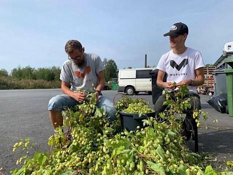 Mika ja Eemeli Tuhkanen viime kesänä irrottamassa humalankäpyjä kasvien varsista. Satoa saatiin yhteensä noin seitsemän kiloa. Se ei vielä yksin riittänyt tuhannen litran olutsatsiin, vaan joukkoon piti laittaa myös ulkomaista humalaa.