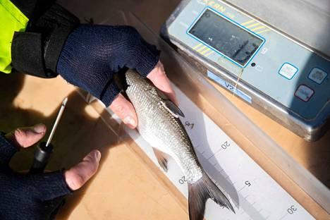 Toutaimet merkitään nuolimerkillä, jotta kalojen liikkeistä Iidesjärvessä saadaan tietoa kalastotutkijoille.