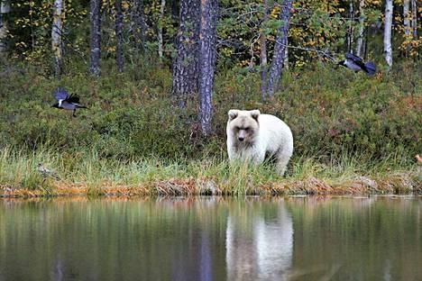 Luontokuvaaja Veijo Toivoniemi ikuisti valkoisen karhun Kuhmossa tiistaina.