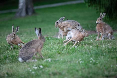 Rusakot liikkuvat ja syövät myös päivisin toisin kuin monet muut kaupungissa asuvat nisäkkäät. Tämä porukka tosin telmi Sorsapuistossa yöllä.
