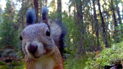 Näin läheltä päästään katsomaan oravia Pikku Kakkosen uudessa Oravametsä-ohjelmassa.