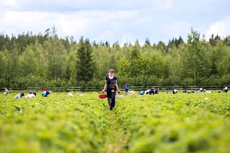 Monet ukrainalaiset mansikanpoimijat ovat työskennelleet Suomessa jo kymmenenkin kesää.