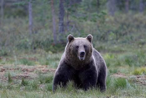 Ammuttu karhu raateli metsästäjää Kannuksessa. Kuvituskuva.