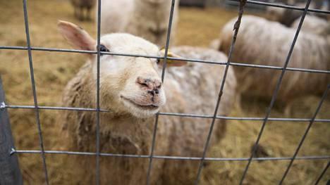 Satakuntalaisella tilalla oli syyttäjän mukaan useita huonokuntoisia ja aliravittuja eläimiä. Kuvituskuvan lammas ei liity uutisessa kerrottuun tapaukseen.