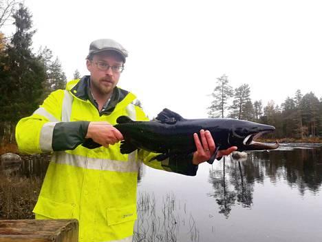 Luonnonvarakeskuksen tutkimusassistentti Antti Karhapään käsissä Lieksanjoesta pyydetty, tummassa kutuasussa oleva Saimaan järvilohikoiras, joka siirrettiin kutualueelle, joen vapaalle koskijaksolle. Tällaiset kalat saattavat joutua salakalastajien saaliiksi.