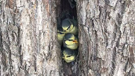 Sinitiaisen poikaset lähdössä Souranderintien pesäpuun kolosta. H- hetki oli 12. kesäkuuta klo 8.40, jolloin kaikki yhdeksän poikasta jättivät ahtaan ja pimeän pesäkolon.