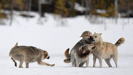 Kolme vuoden ikäistä nuorta sutta (Canis lupus) ja lauman johtajasusi (vaalea turkki) Kuhmon rajavyöhykkeellä 8. toukokuuta 2020.