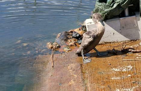 Päästö ei rajoittunut vesistön ja rantojen tahriutumiseen. Vatsanpuolen höyheniin öljyä sai tämän pesimäkauden joutsenenpoikanen.