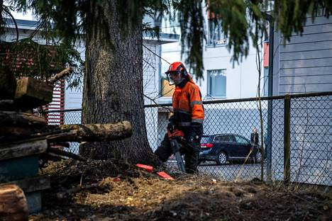 Marko Saarinen katsoi sahauslinjoja ennen kuin Tampereen keskustan joulupuun sahaus alkoi.