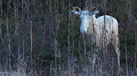 Hyvinkään Kytäjällä kuvattiin valkoinen hirvi keväällä 2017.