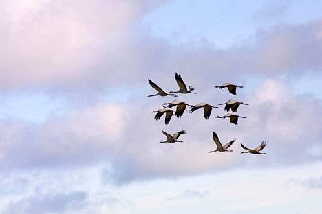 Lintujen kevätmuuton aikaan voi nähdä esimerkiksi kurkia vaikka omalta pihalta.