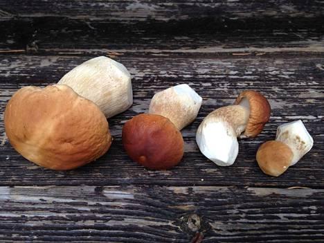Viime syyskuussa kasvoi lopulta näin kauniita herkkutatteja, vaikka kuiva kesä enteili huonoa sienikautta. Tänä vuonna voi olla sama tilanne, jos pian tulee sateita.