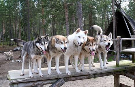 Nämä koirasudet patsastelevat Napapiirin huskypuistossa. Asetus antaa eläinten elää, mutta lisääntyminen on laitonta.