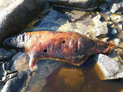 Kallon kivikossa mätänevä hylje on järkyttänyt paikalle sattuneita ihmisiä. (Kuva on otettu noin viikko sitten).