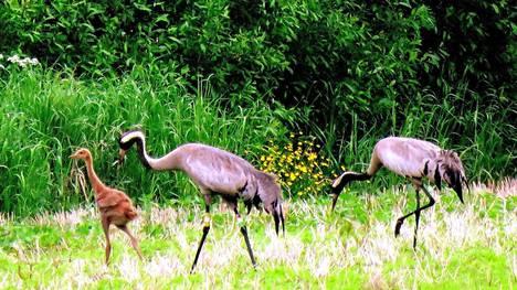 Kurkiperhe kesäkuussa Kotajärvenmaalla. Perhe on koko kesän yhdessä. Värirengastettu ennätyskoiras keskellä, oikealla naaras ja vasemmalla punaruskea poikanen. Nyt elokuussa poikanen on jo lentokykyinen ja lähtee syyskuussa emojensa seurassa muuttomatkalle.