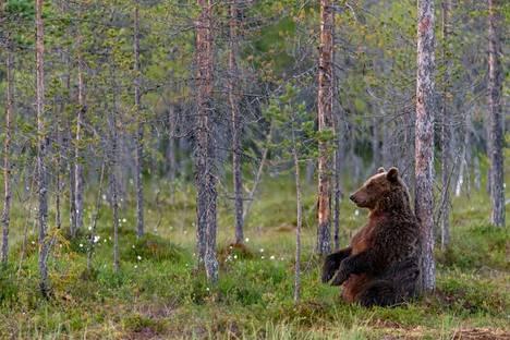 Millaista kontion elämä on nykyään metsissä, joita se jakaa ihmisen kanssa?