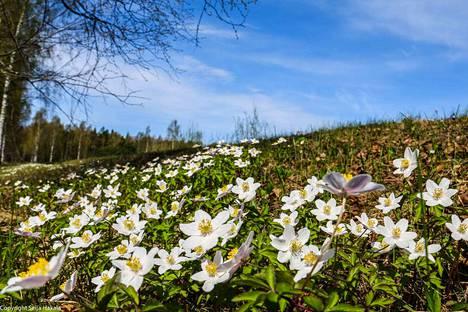 Viikonloppua kohden sää lämpenee. Näin kauniisti kukkivat valkovuokot Sääksmäellä keväällä pari vuotta sitten. Lukijan kuva.