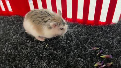 Ylöjärveläinen Terhi Varin löysi viikko sitten pienen hamsterin kesken nurmikonleikkuun. Omistajaa ei ole löytynyt.