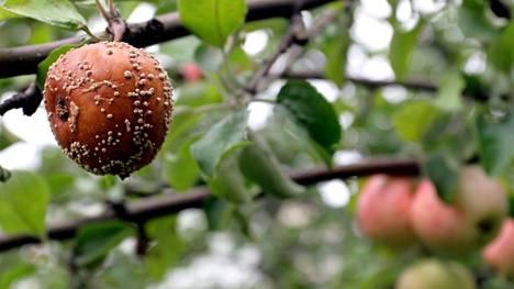 Lukijaa mietitytti, miten muumio-omenat kuuluu oikeaoppisesti hävittää.