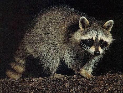 Pesukarhu on haitallinen vieraslaji. Jos joku on tuonut pesukarhun Suomeen, se saa elää elämänsä loppuun asti hänellä lemmikkinä, mutta se ei saa lisääntyä eikä sitä saa antaa eteenpäin