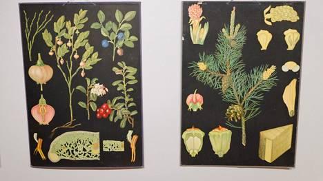 Otavan kasvitieteellisissä opetustauluissa on esitetty muun muassa männyn kasvun eri vaiheet. Toisesta taulusta aikansa oppilaat saattoivat tunnistaa puolukan ja mustikan.