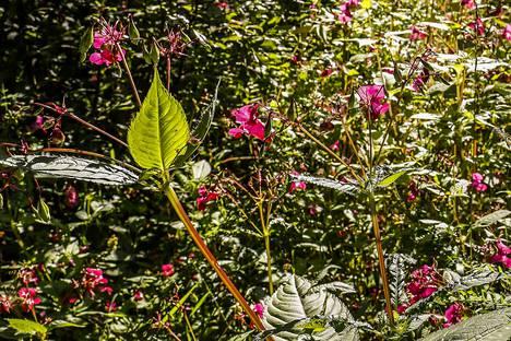 Haitallisia vieraslajeja, kuten kuvan jättipalsamia, leviää luontoon muun muassa puutarhajätteen mukana. Kirjoittajan mielestä Valkeakosken kaupungin pitäisi kieltää puutarhajätteiden vieminen metsiin.