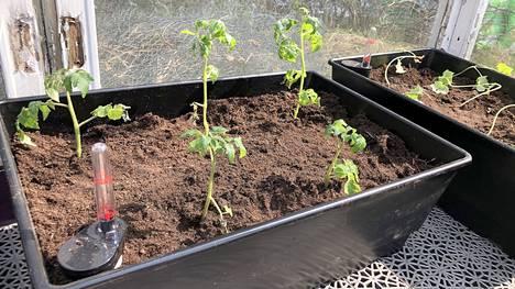 Kasvatuslaatikot on oiva apu kasvihuoneessa.