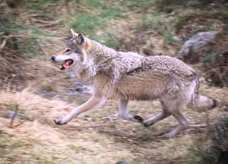 Suden kohtaamisen on uskottu johtavan lähes aina metsästyskoiran kuolemaan. Nyt kävi toisin.